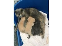 Beautiful British shorthair kittens gccf reg