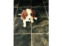 Cavalier King Charles Puppy For Sale