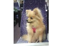 KC POMERANIAN 7 MONTH OLD GIRL(PUPPY 7 MONTHS OLD )