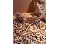 3 year old male Bearded Dragon