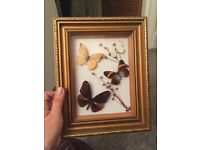 Vintage taxidermy butterfly framed picture