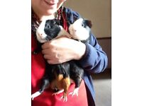 Two lovely Male brothers guinea pigs