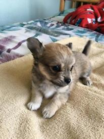 CHIHUAHUA LONG HAIRED BOY PUPPY