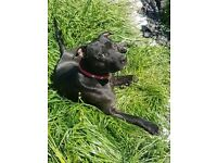 18month old neutered Staffordshire terrier