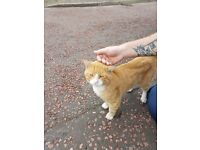 FOUND - Ginger tom cat - around 2 - not neutered or microchipped