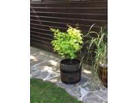 Rustic Oak Wooden Whiskey Barrel Garden Planter x 1
