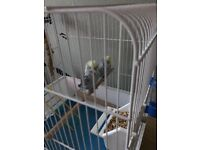 2x budgies for sale £30