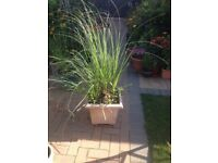 Large pampas plant in pot suitable for planting in the garden in 40cm pot