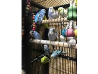 Baby budgies and cage