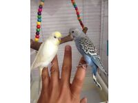 2 baby budgies& cage