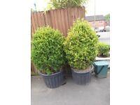 2 x box bush, plant, tree in pots.