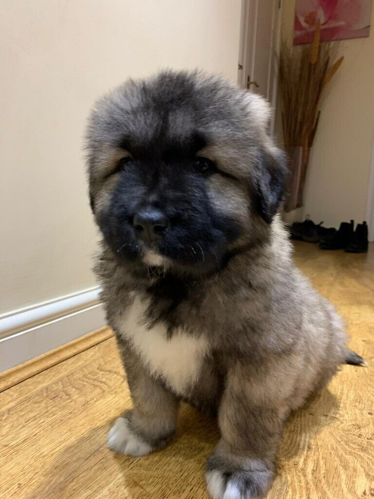 Caucasian Ovcharka Russian Bear Dog Puppy - Kharita Blog