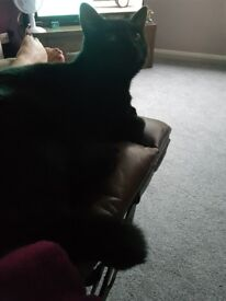 Black short haired cat needs a new home.