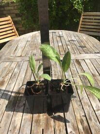 Organic artichoke plants