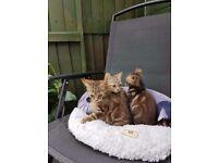 Tabby kittens for sale.