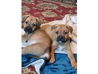 Bull weiler puppies boys available