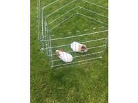 2 or 1 guinea pigs