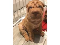 Shar Pei puppies for sale 1 girl , 1 boy left. kc registered