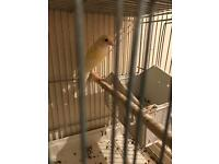 Irish fancy canaries for sale