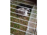 2 long haired Guinea pigs, 3 months old, cage included! need a home ASAP