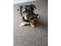 Puppy yourk for sale
