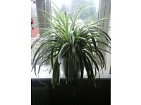 spider plants in pots 5 large plants available to good home.