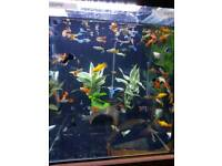 Guppies mollies platy tropical fish