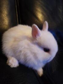 Netherlands Dwarf baby rabbits