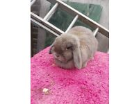 Beautiful female mini lop