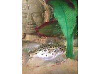 fish tank and green spotted puffer fish free to good home