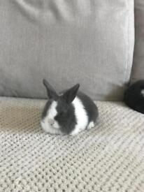 2 mini lop rabbits 7 weeks ready to leave next week