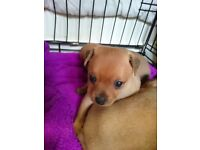 Dogs for sale in Stockport, Manchester - Gumtree