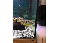 Tetradon linesries fresh water puffer fish