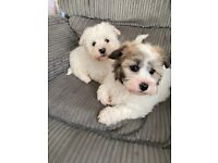 Shih tzu cross bichon puppies