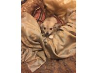 Gorgeous long haired chihuahua puppies for sale