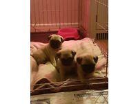 KC Registered Pugs