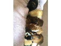 7 cute baby guinea pigs