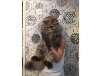 For sale Persian kittens ( Reduced Price )