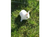 Female lion head rabbit for sale ready to leave