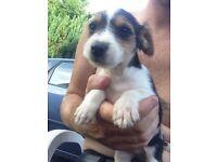 Jack Russell puppies last 2.