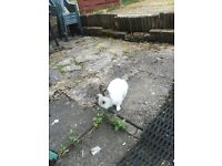 Beautiful male rabbit needing forever home