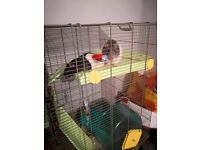 *reduced price* 2 young male rats for sale with cage and bedding.