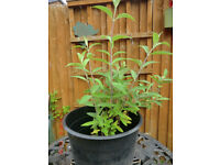 Buddlea Plants