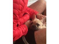 French bulldog pup 13 weeks old