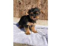 Beautiful Yorkshire terrier/ Poodle