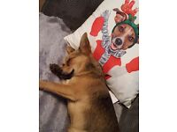 Chihuahua cross jack russle boy for sale