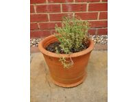 Thyme Garden Herb in Small Terracotta Plant / Flower Pot / Container / Planter