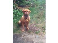 Female dogue de Bordeaux for sale