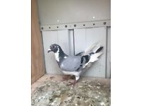 Pigeons for sale | Birds for Sale - Gumtree