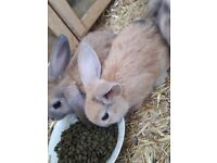 x6 Minilop x English Breed Bunnies For Sale